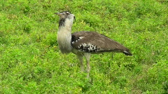 A kori bustard bird walks in grass in Africa. Stock Footage