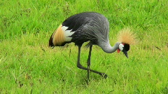 An African crested crane forages in the grass. - stock footage