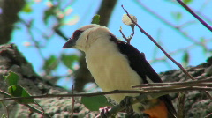 A white headed weaver sits in a tree looking around. Stock Footage