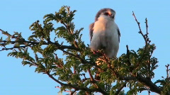 A pygmy falcon sits in a tree in Africa. Stock Footage