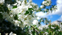 Dolly of apple-tree 2 Stock Footage