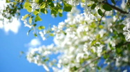Dolly of apple-tree 3 Stock Footage