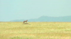 A distant cheetah on the Serengeti. - stock footage