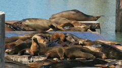 Sea Lions Stock Footage