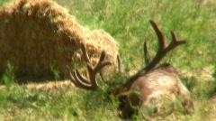 Elk Laying Down Huge Antlers - stock footage