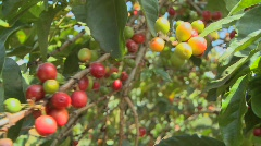 Coffee beans grow on a coffee plantation in the tropics. - stock footage