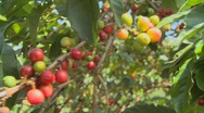 Stock Video Footage of Coffee beans grow on a coffee plantation in the tropics.
