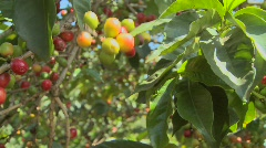 Pan across coffee beans growing on a coffee plantation in the tropics. Stock Footage