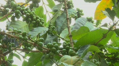 Low angle panning shot across coffee berries growing in a tropical location. Stock Footage
