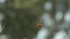 An African spider meticulously spins its web. Stock Footage
