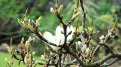 Blossom Tree Stock Footage