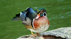 Wood duck sitting on a Wood Stock Footage