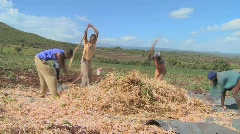 A circle of men thresh wheat on a farm in Africa. Stock Footage