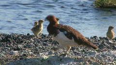 Bird with baby birds, a partridge Stock Footage