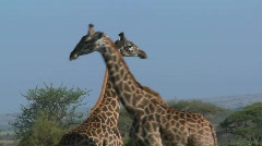 Giraffes tussle and fight in a display of mating behavior. Stock Footage
