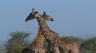 Stock Video Footage of Giraffes tussle and fight in a display of mating behavior.