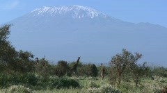 Giraffes stand in front of snowclad Mt. Kilimanjaro in Tanzania, East Africa. Stock Footage