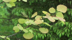 Aspen branch. - stock footage