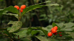 Pan accross a fruiting understory shrub in rainforest. Stock Footage