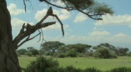 Stock Video Footage of African baboons sit in a tree as a family group against the magnificent backdrop