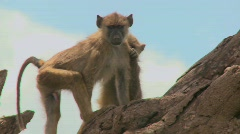 Young baboons sit in a tree and pick fleas and ticks off each other. Stock Footage