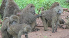 Pan across large family of baboons sitting on ground picking fleas and ticks off Stock Footage