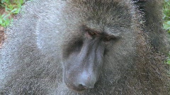 Close up of a baboon having fleas and ticks picked off in a grooming ritual. Stock Footage