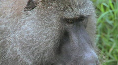 Close up of a baboon face having fleas and ticks picked off in a grooming Stock Footage