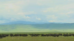 Vast herds of cape buffalo graze at Ngorongoro Crater in Tanzania, Africa. - stock footage