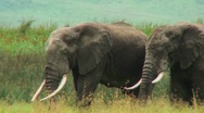 Stock Video Footage of African elephants graze on the savannah.