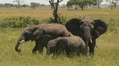A group of three elephants graze on the Serengeti plains. Stock Footage