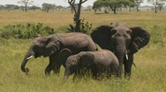 Stock Video Footage of A group of three elephants graze on the Serengeti plains.