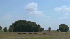 Wildebeests run across the plains in Africa. Stock Footage