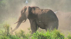 A giant African elephant gives himself a dustbath in this remarkable shot. Stock Footage