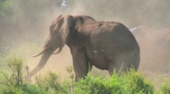 Stock Video Footage of A giant African elephant gives himself a dustbath in this remarkable shot.
