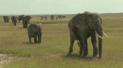 A large herd of African elephants migrate across Amboceli National Park in - stock footage