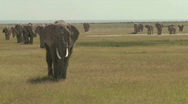 Stock Video Footage of A large herd of African elephants migrate across Amboceli National Park in