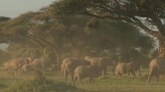 Large herds of African elephants migrate near Mt. Kilimanjaro in Amboceli Stock Footage