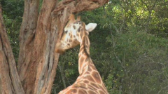 Tourists pet a giraffe in a zoo setting. - stock footage