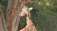 Stock Video Footage of Tourists pet a giraffe in a zoo setting.