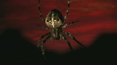 Spider against afterglow Stock Footage