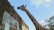 Stock Video Footage of Giraffes stick their heads into the windows of an old mansion in Africa and eat