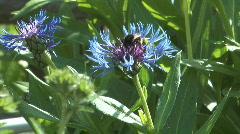 Blue cornflower. Stock Footage