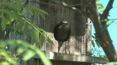 Fledgling starlings. Stock Footage