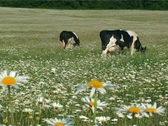 Cows on field Stock Footage