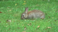 Stock Video Footage of Baby Rabbit Eating Grass