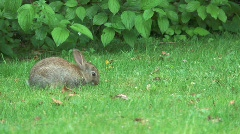 Baby Rabbit Eating Grass Stock Footage