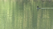 Flight of a Cormorant Stock Footage