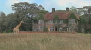 Giraffes mill around outside an old mansion in Kenya. Stock Footage