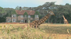 Giraffes mill around outside an old mansion in Kenya. - stock footage